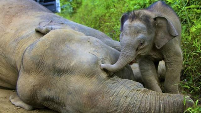 Der drei Monate alte Elefantenjunge versucht vergeblich, seine Mutter aufzuwecken