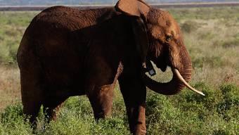 Elefanten haben in Botsuana zwei Menschen zu Tode getrampelt. (Archivbild)