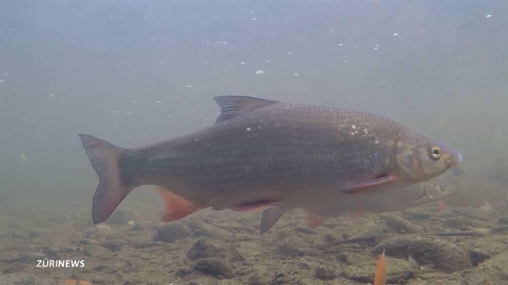 Der Näsling-Fisch macht im Zürisee ein Comeback
