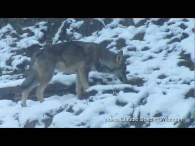 Wolfsmonitoring am Calanda 2012: Bündner Wildhüter zeigen, wie die Wölfe am Calanda überwacht werden.