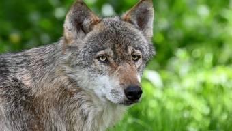 Das geht nur in der Schweiz: Eine Volksabstimmung über den Wolf.