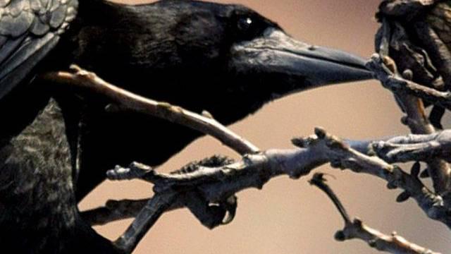 Krähen sind clever (Symbolbild)