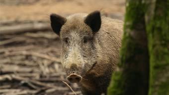 Wildschweine sind häufig Überträger der Schweinepest.