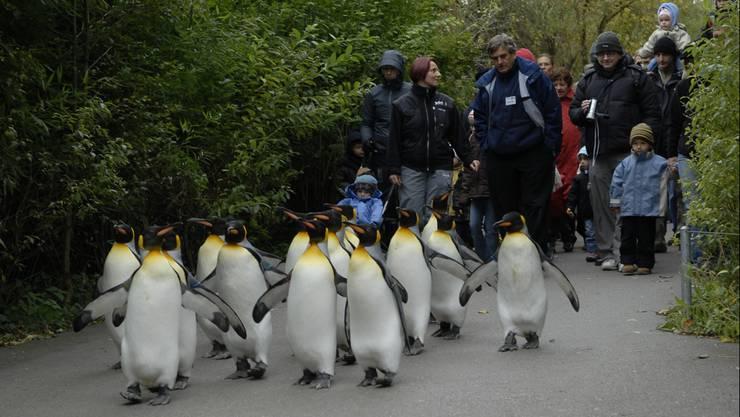 Pinguinparade: Spaziergang durch den Zoo.