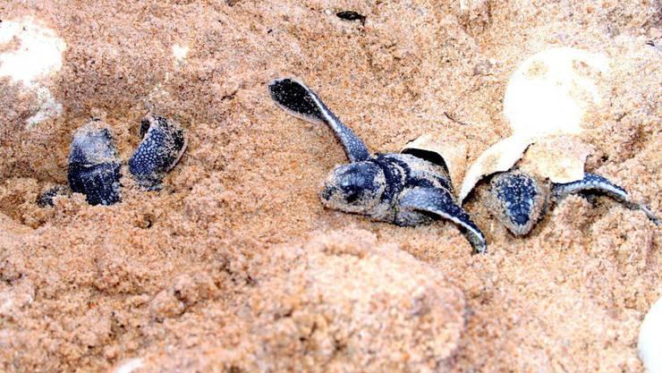 So süss sind Lederschildkröten kurz nach ihrer Geburt.