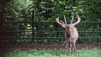 Es ist wieder Paarungszeit im Tierpark Langen Erlen