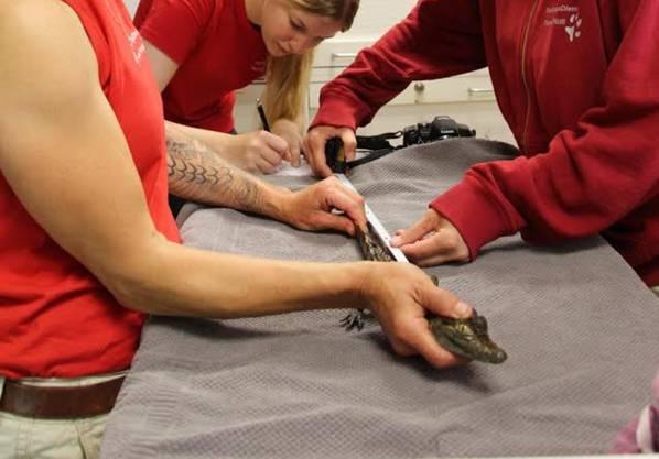 Mitarbeiter des Tierrettungsdienst messen das kleine Krokodil.