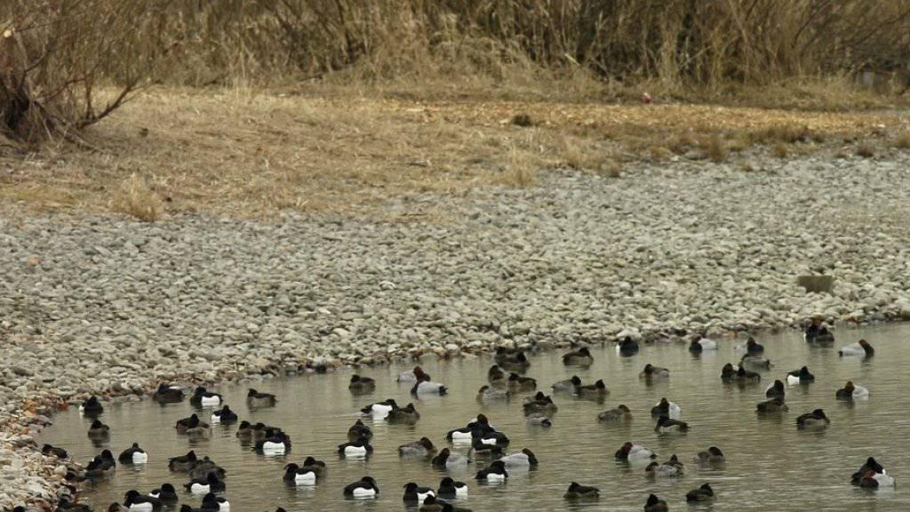 Verschleppt wird das Vogelgrippe-Virus von Zugvögeln, die auf der Reise in ihre Winterquartiere Zwischenhalte einlegen. Für Menschen besteht gemäss Behörden keine Gefahr. (Archivbild)