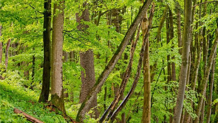 Hier lauern sie am liebsten auf einen Wirt: Laub und lockere Erde machen den Wald zum idealen Lebensraum für Zecken. Doch auch in Gärten und Wiesen können sie vorkommen. EMANUEL PER FREUDIGER