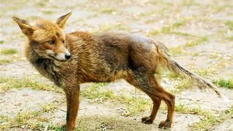 Dieser Fuchs ist an Räude erkrankt, das Fell hat er sich abgekratzt.