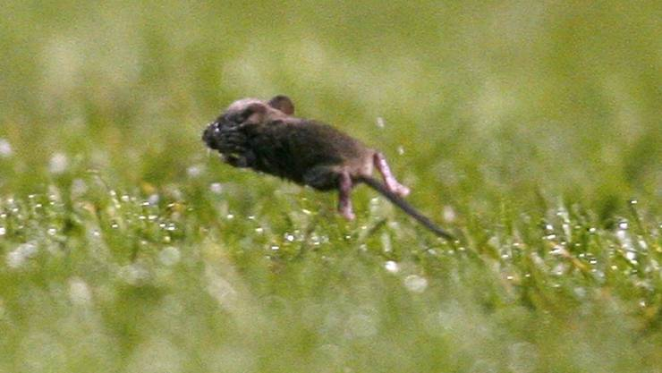 Die Maus muss sich sputen