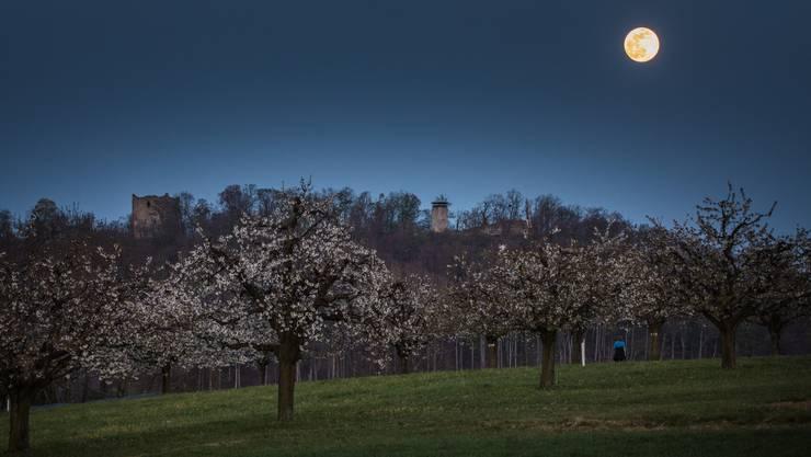 Abendspaziergang bei Muttenz zwischen blühenden Kirschbäumen, Foto von Peter Wehrli