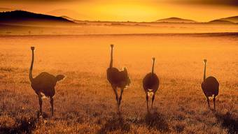 Eine Gruppe von Somalistraussen schreiten über die Savanne.