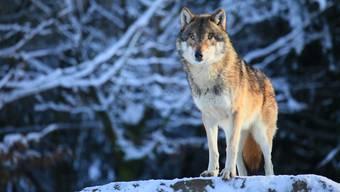Es ist weiterhin unklar, ob ein Wolf die Schafe in Niederweningen tötete - trotz DNA-Untersuchung.