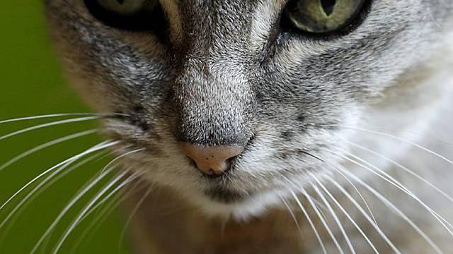 Schmusekatze: Falsch verstandene Tierliebe durch Gourmettierfutter belastet Umwelt schwer.