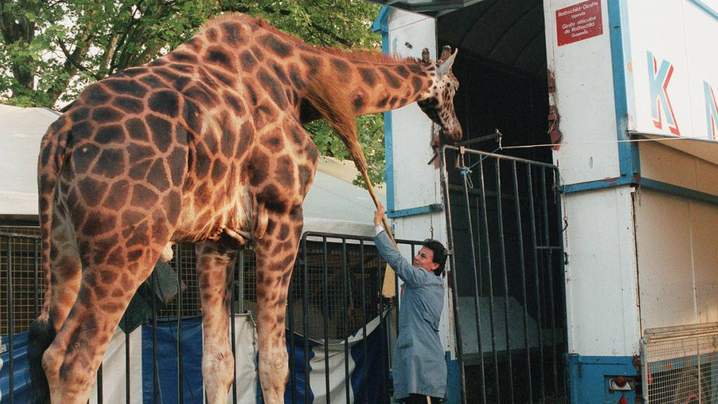 Tierschützer fordern Verbot von Wildtieren in Schweizer Zirkussen