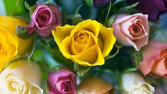 Forscher entschlüsselten das Erbgut einer Rose. Damit erhoffen sie sich Impulse für die Rosenzucht. (Archiv)
