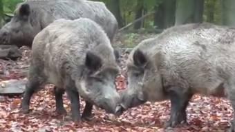 In Biberstein endet die Jagd für eine Hilfsperson mit einer tiefen Schnittverletzung von den Eckzähnen des Tieres.