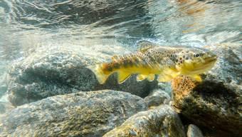Die Forelle ist Fisch des Jahres 2020. Der Fischerei-Verband will mit der Ernennung auf die schwierig gewordenen Lebensbedingungen der Fische aufmerksam machen.