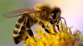 Die Bienen finden derzeit einen reich gedeckten Tisch, doch fehlt es wegen der Trockenheit an Nektar in den Blüten.