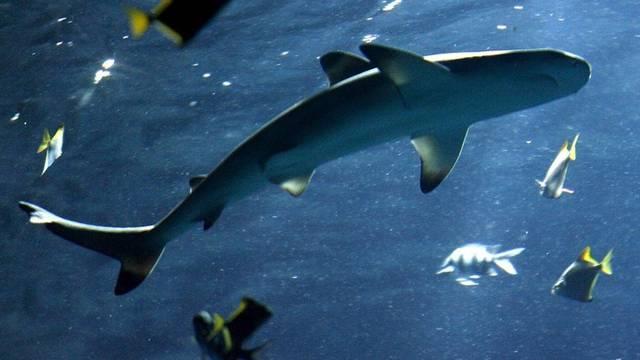 Der Teenager hatte den Riffhai mit einem toten Fisch angelockt (Symbolbild)