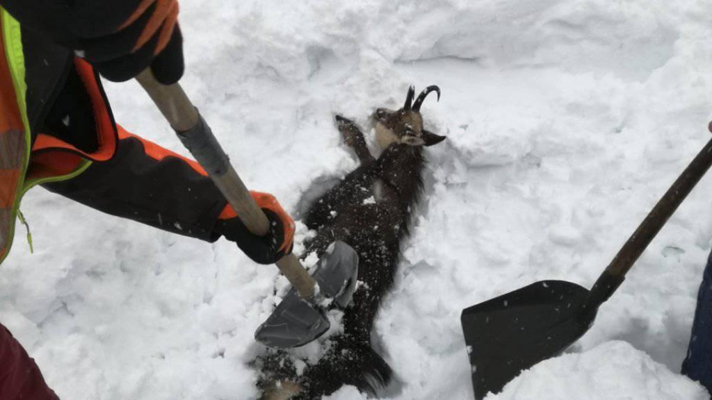 Auch Tiere wurden vom Schnee verschluckt. Mitarbeitende der Österreichischen Bahn buddeln die Tiere wieder aus.