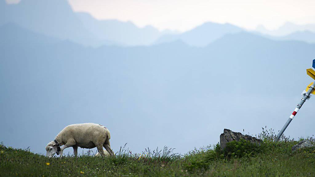 Wolf riss neun Schafe im Murgtal