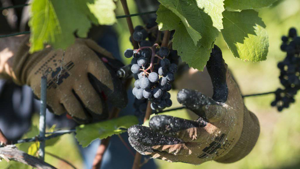 Die Schäden an den Reben waren seit Sommerbeginn in bestimmten Weinbauregionen der Schweiz und fünf weiterer Länder beobachtet worden (Symbolbild).