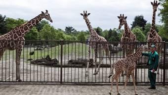Giraffen in einem Zoo in Polen (Symbolbild)