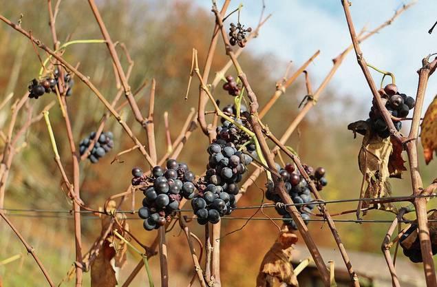 Zwar hängen noch Reben auf dem Weingut von Daniel Fürst. Bei diesen handelt es sich aber um Trauben der zweiten Generation, sogenannte Wintertroller, die später wachsen und nicht geerntet werden.