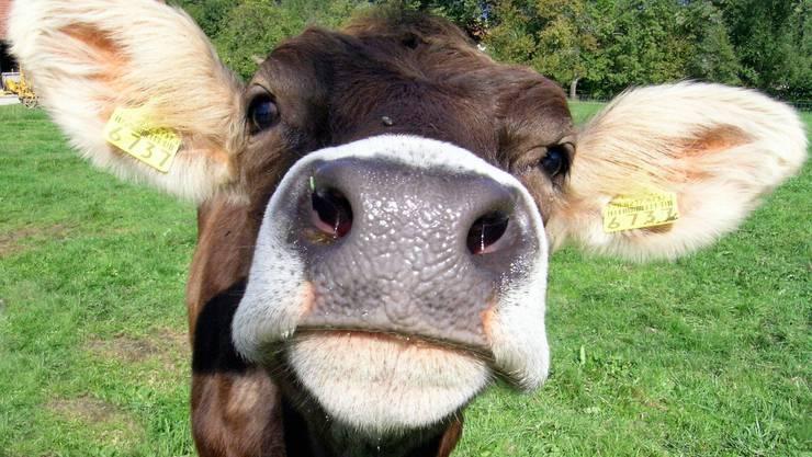 Nach dem Kalben flüchtete die Kuh aus dem Stall.