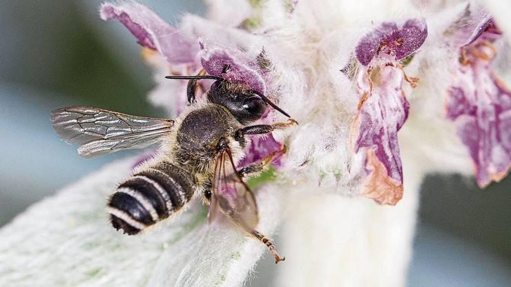 Eine Wildbiene bei der Futterbeschaffung, festgehalten von Sabine Wüst.
