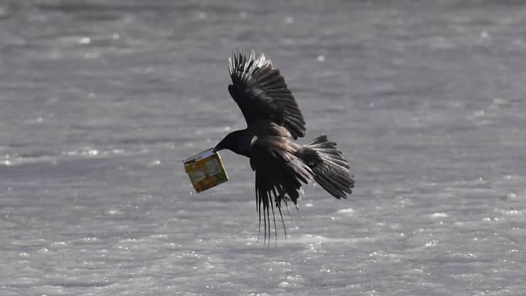 Eine Krähe mit Müll im Schnabel in Mecklenburg-Vorpommern (D).