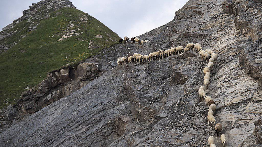 1500 Schafe wandern von einer Weide zur anderen, am Dienstag, 6. August 2019, beim «Schafuebergang» unter dem Gipfel des Falknis (2562 Meter) zwischen dem Guschasattel und Flaescher Fuerggli, in Flaesch.