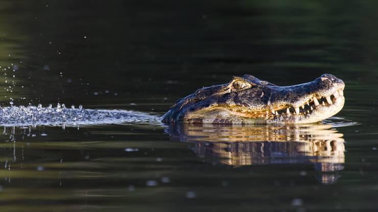 Am Sonntagabend, 14. Juli, hat ein Fischer einen Kaiman im Hallwilersee beobachtet. Ein Bild des Reptils existiert nicht. (Symbolbild)