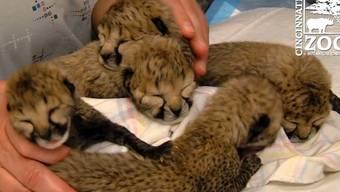 Unglaublich klein und unglaublich süss: Die fünf Gepard-Jungen im Cincinnati Zoo.