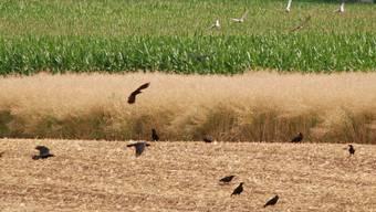 Krähen können auf Äckern grosse Schäden anrichten.  Toni Widmer