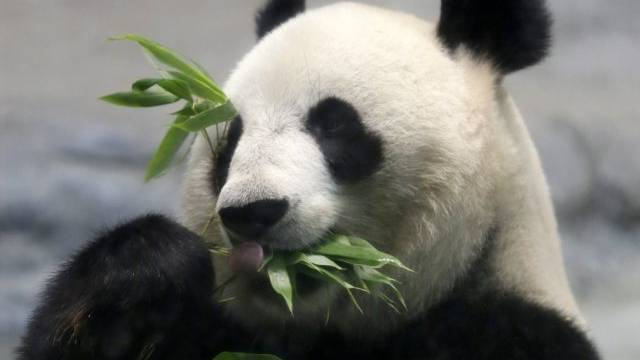 Ein Panda in Tokio verspeist Bambusgrün (Archiv)
