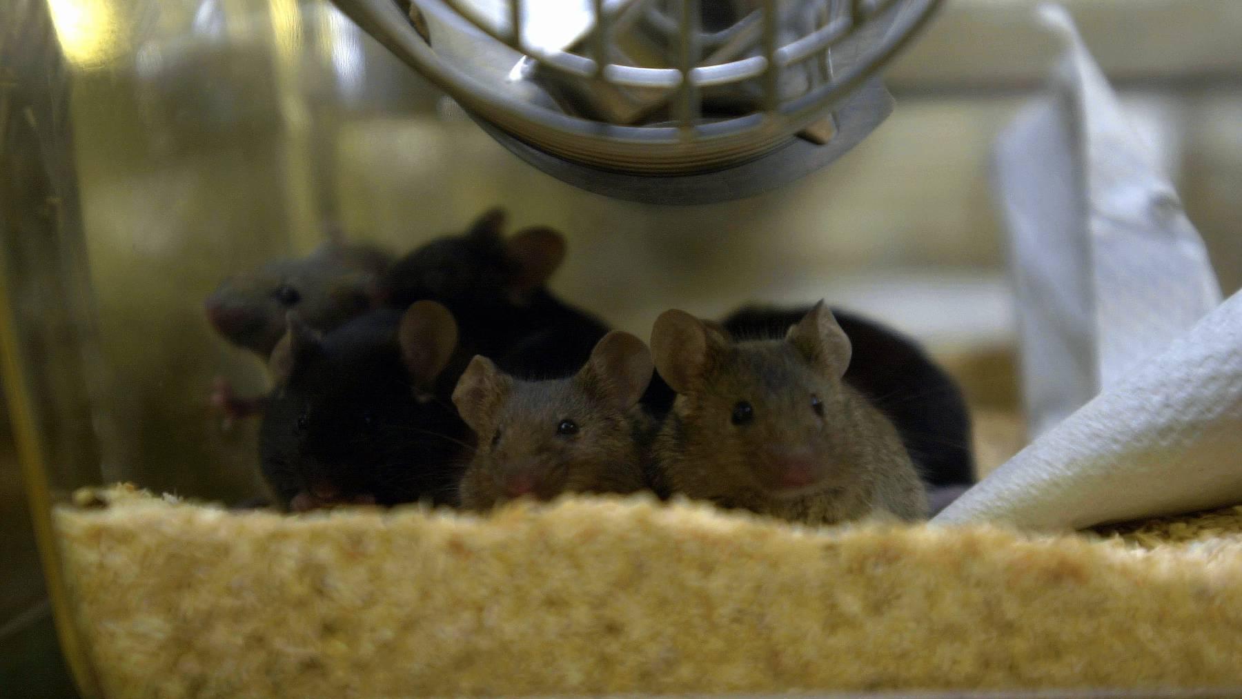 Die Mäuse waren nach Zelltherapie physisch fitter und ihr Immunsystem war gestärkt.