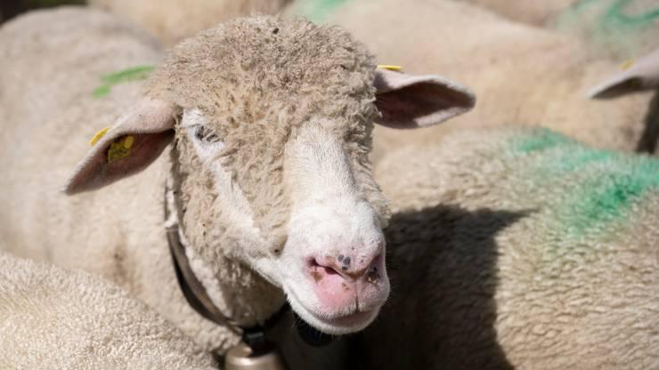 450 Schafe waren es dieses Jahr.