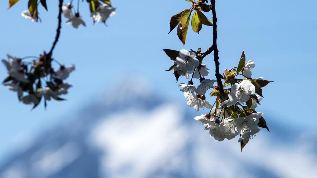 Obstbauern hoffen trotz Frostschäden auf eine gute Ernte