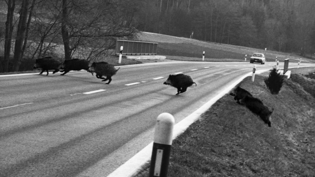 Wildschweinrotte sorgt für Unfälle auf Autobahn in Süddeutschland