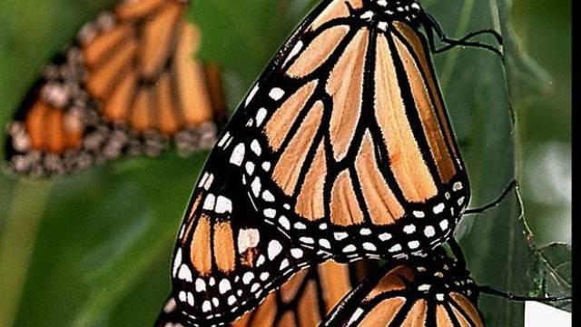 Monarchfalter machen Rast auf ihrer 3500 Kilometer langen Reise
