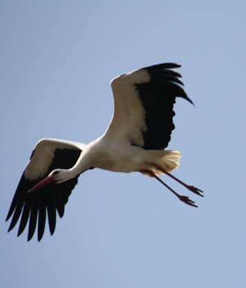 Futtersuche und der Ausbau des Nests erfordern viele Flüge.