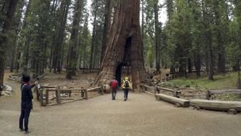 Der berühmte, über tausendjährige Baum im Calaveras-Park war grösstenteils abgestorben und neigte sich seit Jahren stark. Ein starker Sturm bereitete dem Wahrzeichen am Wochenende ein Ende. (Archivbild)