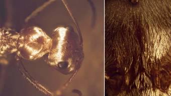 Wie Quecksilbertropfen in der Wüste sehen Silberameisen aus - dank speziell aufgebauter Haare