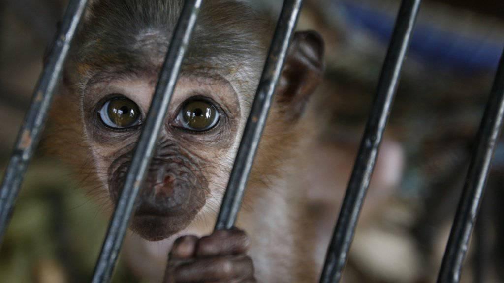 Der Nationalrat hat ein Verbot von wissenschaftlichen Versuchen an Primaten abgelehnt. Er hält die heutigen Regeln für genügend klar. (Symbolbild)