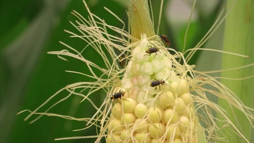 Anbauverbot: Kanton SG geht gegen Maiswurzelbohrer vor