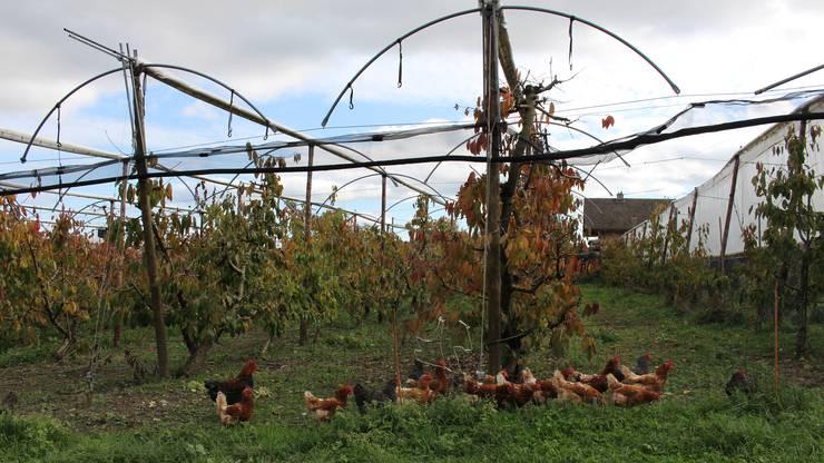 Die Hühner auf dem Fondlihof warten bereits freudig auf ihre Körner.