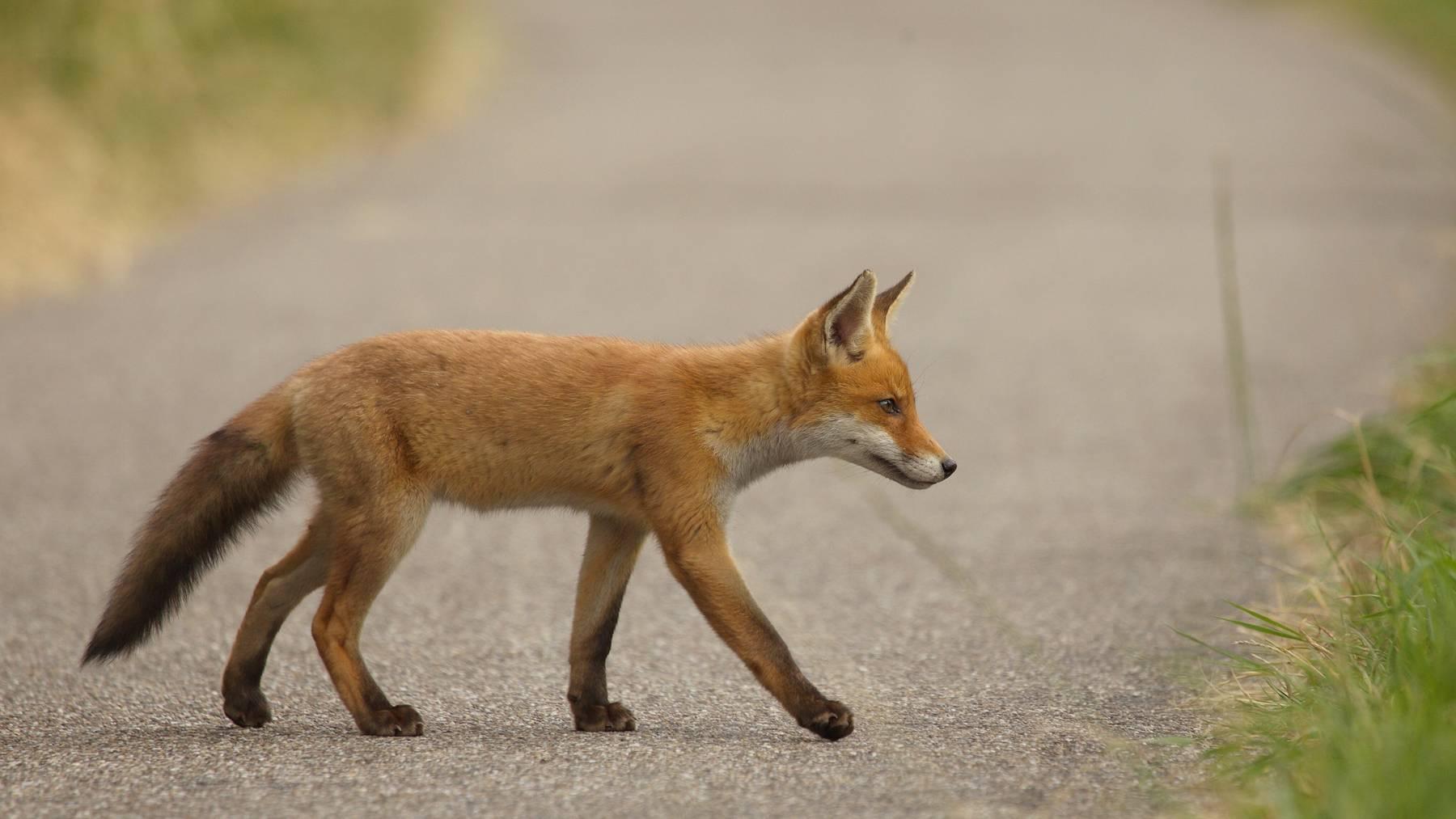 Wildtiere sind unberechenbar. Daher sollte man langsamer fahren, wenn man ein Tier in der Nähe einer Strasse sieht.